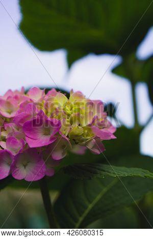 Pink Hydrangea Flower - Hydrangea Macrophylla In The Garden