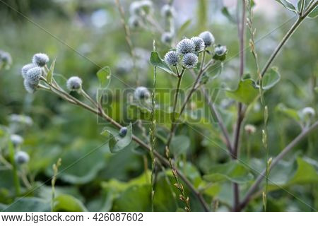 Perennial Burdock Plant With Sticky, Prickly Fruits, On A Summer Day. Close-up.