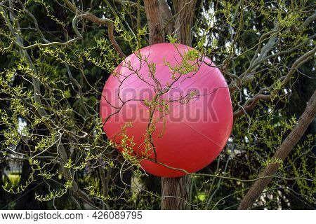 Big Red Sports Ball Got Stuck On Tree With Thin Twisting Branches. Close-up. Selective Focus.