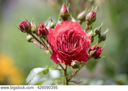 Detail Of Red Rose Flower With Blurred Background, Photograph Made With Focus Stacking