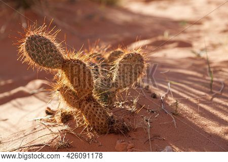 A Small Desert Cactus With Sharp Needles Is Back Lit By The Afternoon Sunshine And Surrounded By Ora