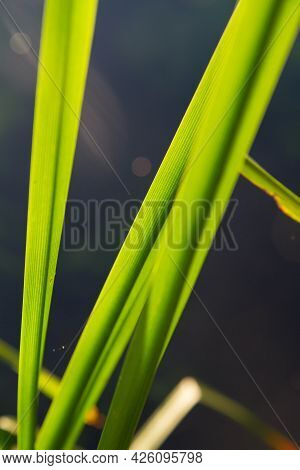 The Simplestem Bur-reed (sparganium Erectum) Plant At A Bank Of A Lake - Close Up Of Leaves