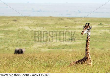 A Masai giraffe resting in the lush long grass of the Masai Mara, Kenya. An elephant can be seen in the background.