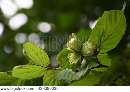 Green Young Hazelnuts (hazelnuts, Cob) Grow On A Tree On An Organic Nut Farm. Nuts With Leaves In Th