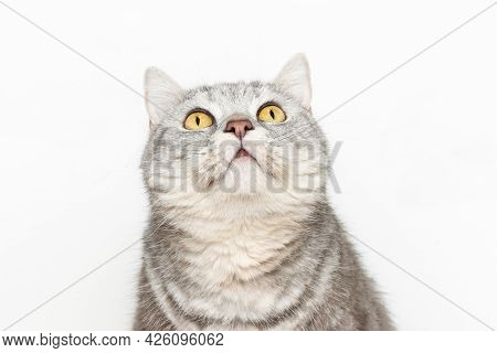 Funny Cute Fluffy Cat Threw His Head And Looks Up, Cat With Beautiful Yellow Eyes