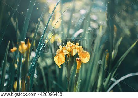 Natural Background Of Yellow Marsh Irises. Yellow Irises Grow In A Swamp. Beautiful Banner Made Of F
