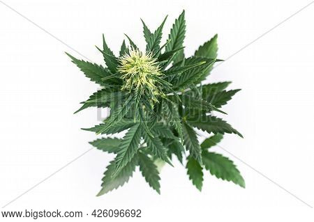 Top View Of Marijuana Plant Isolated On White Background. Cannabis Flowering Bud.
