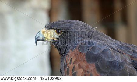 Detail Of Bird Of Prey Goshawk Skin In Nature.