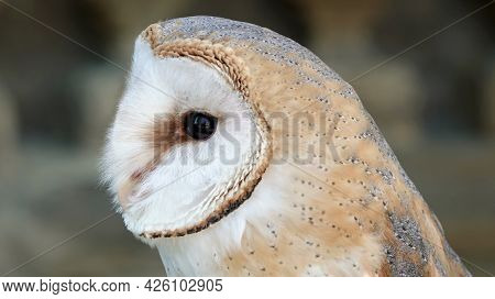 Detail Of A Head Barn Owl Tyto Alba