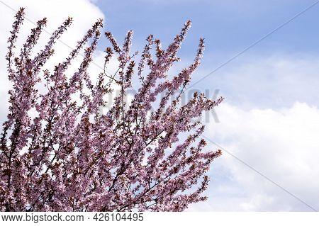 Spring Blossom Background. Beautiful Nature Scene With Blooming Tree And Sun. Cherry Or Sakura Bloss