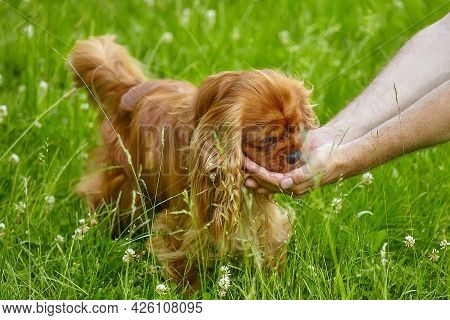 Brown Cocker Spaniel Drinks Water From A Man's Hands..