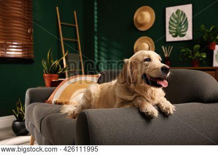 Cute Golden Labrador Retriever On Couch. Modern Living Room Interior