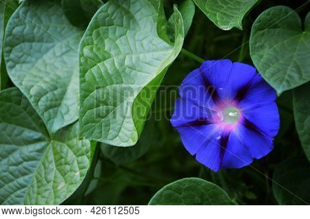 Close Up Of Morning Glory Flower Plant Background