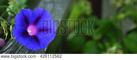 Blue Morning Glory Flower Background Or Banner