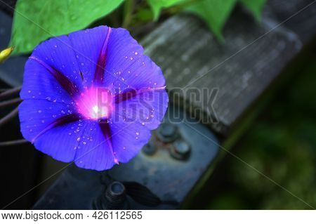 Close Up Blue Morning Glory Flower Plant