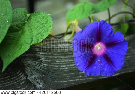 Close Up Of Blue Morning Glory Flower Plant