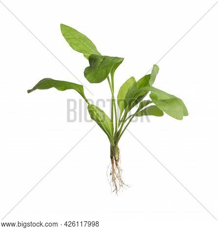 Green Broadleaf Plantain Plant Isolated On White