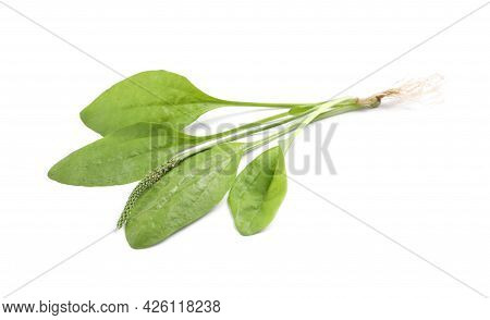 Broadleaf Plantain With Seeds On White Background. Medicinal Herb