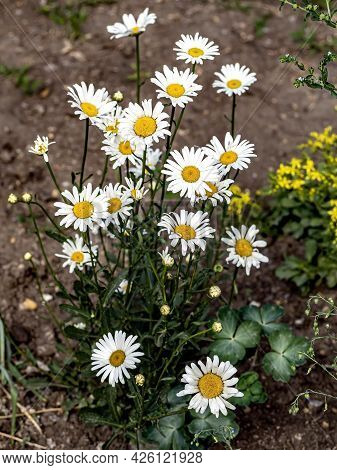 Delicate White Daisies On A Dark Blurred Background, A Narrow Focus Area