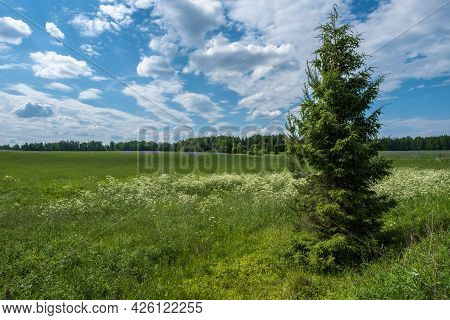 A Lonely Spruce Tree On A Large Field With Purple And White Flowers, Russia.
