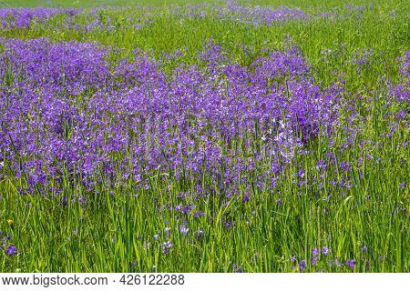 Background With Purple Bells And Green Grass On A Sunny Day.