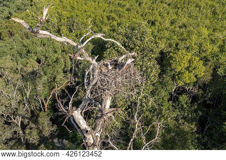 Osprey Nest High In Tree Tops. Sandringham Bay Conservation Park, Mackay, Queensland,