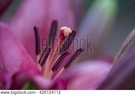 Closeup Of The Stamen And Pistil Of A Red Lily Flower