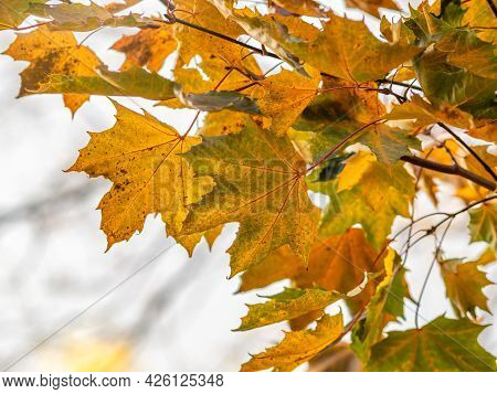 Maple Branches With Yellow Leaves In Autumn, In The Light Of Sunset.