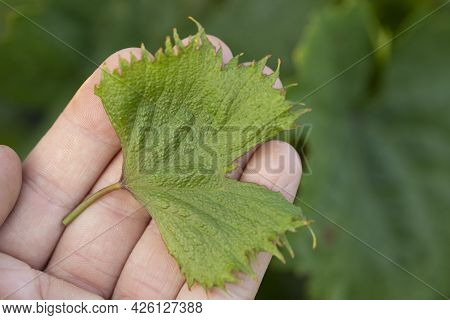 Herbicidal Burn On Leaves Of Grapes. Damage To Grape Plants By Herbicides Growth Regulators