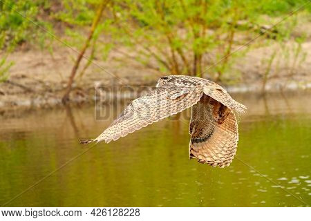 Wild Eagle Owl, The Bird Of Prey Has The Prey In The Paws Over A Lake. Water Drops Fall Down. Grass
