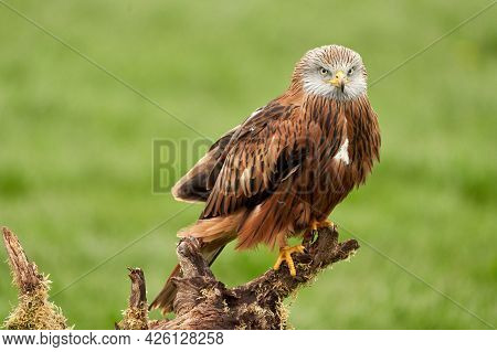 Red Kite, Bird Of Prey Portrait. The Bird Sits On A Stump, Looks Straight Into The Camera.