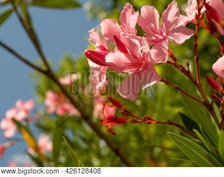 Pink Oleander Blossom, Macro Photography, Nerium Oleander. High Quality Photo