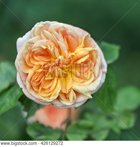 Rose Grace - A Variety Of English Roses, The Flowers Have A Wonderful Peach Color With Petals That A