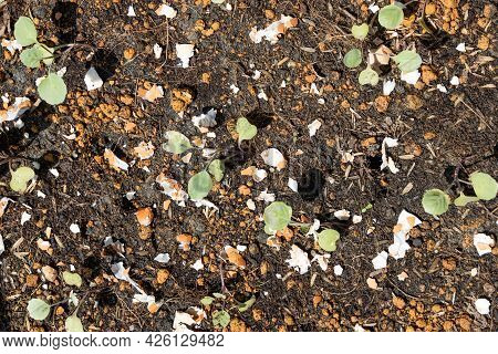 Overhead View Of Crushed Egg Shell Scatted Onto Soil As Organic Fertilizers For Baby Vegetables