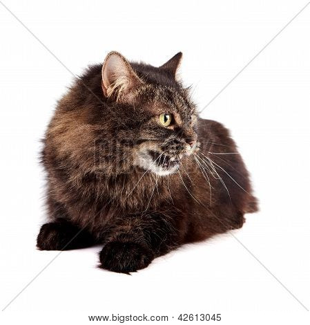Fluffy hissing cat. Beautiful cat. Striped cat. Angry cat. poster