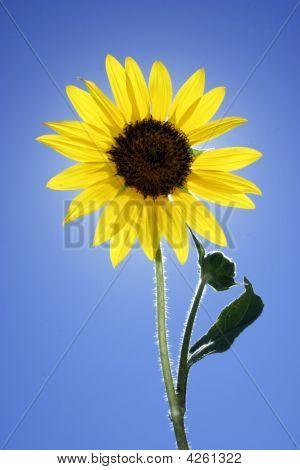 Single Sunflower Isolated Against Blue Sky