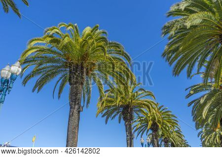 Palm Tree. A Palm Tree In Southern California.