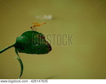 Brown Color Dragonfly Creature Seating Upon Lotus Leaf Isolated On Rain Water Blur Background.