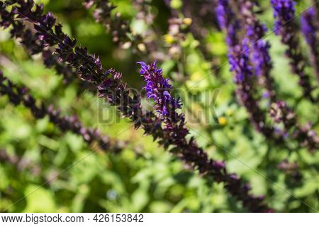 Beautiful Bright Bouquet Of Colorful Wild Lupines On Natural Background
