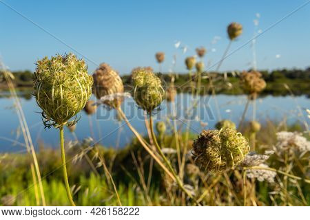 Close-up Of Flowers Of The Plant Wild Carrot, Daucus, Carota. In The Background Of The Image The Pon