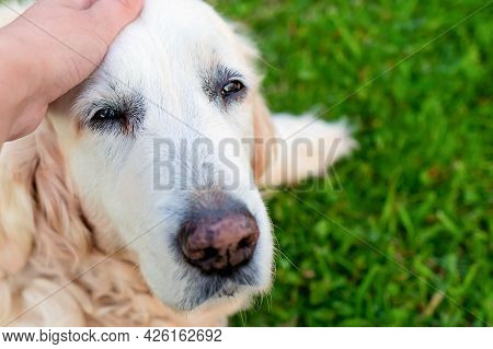 Close Up And Soft Focus Of A Satisfied And Happy Elderly Senior Golden Retriever With Light Hair Bei