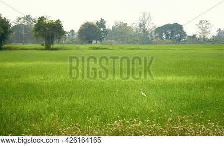 Rice Fields In The North Of Thailand. Tropical Trees In The Haze In The Background. Heron Among Tall