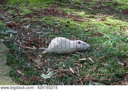 White Muskrat Resting On The Grass In The Park