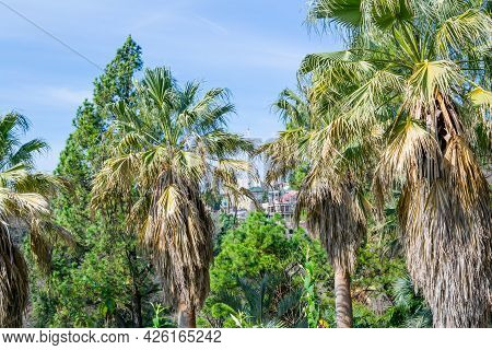 Palm Trees And Blue Sky In The Sochi City, Russia