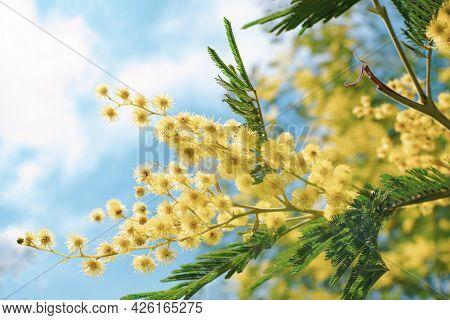 Blooming Mimosa Branch And Blue Sky, Acacia Dealbata, Silver Acacia. Branch Of Mimosa Tree With Spri