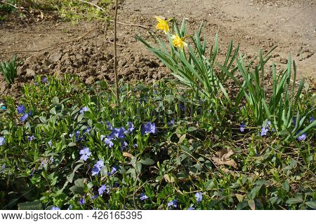 Yellow Narcissus And Violet Flowers Of Lesser Periwinkle In Mid March