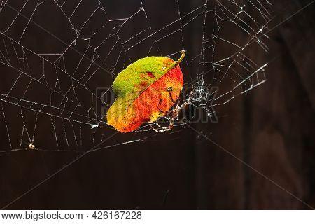 Arachnophobia Fear Of Spider Bite Concept. Macro Close Up Spider Colorful Autumn Leaf On Cobweb Spid