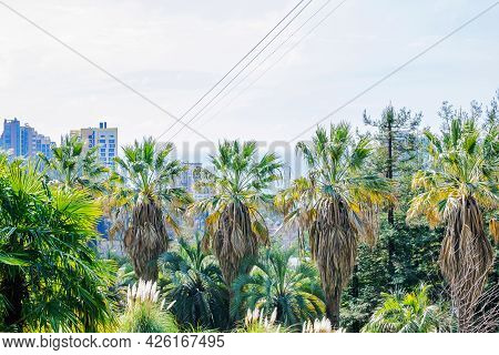Palm Trees In The Sochi City, Russia