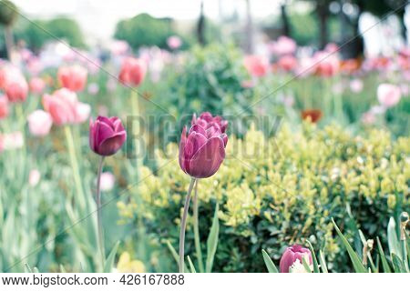 Amazing Green Garden With Tulips, Beautiful Spring Time