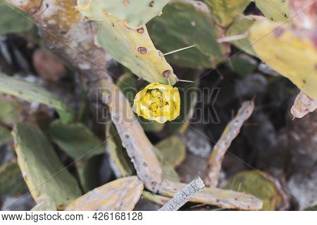 Prickly Pear Cactus With Yellow Flower. Opuntia, Ficus-indica, Indian Fig Opuntia, Barbary Fig, Bloo